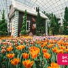 Last two weekends left to Tulipmania @ Gardens by the Bay